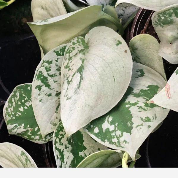 往黃金葛的葉子上噴一種東西,可促進它開花,附黃金葛品種大全