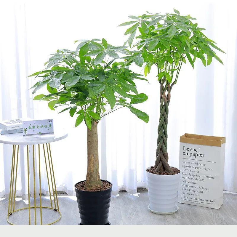 家裡養發財樹,這5點要做好了,葉子綠油油的,財源滾滾來