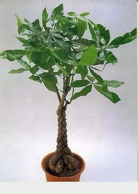 養好發財樹,讓你財源滾滾,大吉大利!