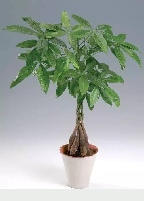 老園丁的5個養發財樹秘訣,再也不怕黃葉、爛根