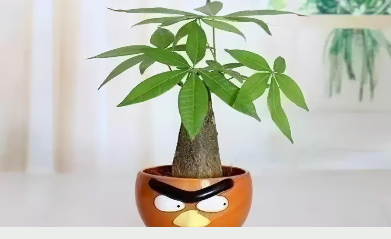 發財樹寓意好,擺在家裡能旺運,養護做好這幾點,不長蟲四季常青