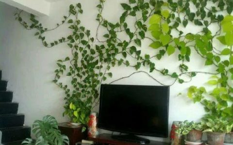 王姨家的黃金葛,6個月爬滿「電視牆」,葉子「油綠」有光澤