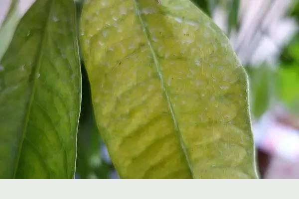 發財樹日常養護的禁忌和防止爛根、黃葉的幾個小技巧