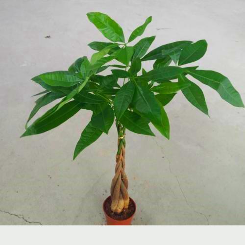 養發財樹一定要懶,少澆水多曬太陽,放著不管就四季常綠