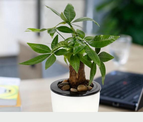 發財樹的養殖方法
