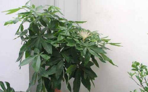 養發財樹,做到這「2點」,嫩芽冒的多,開出花兒來,養好多年!