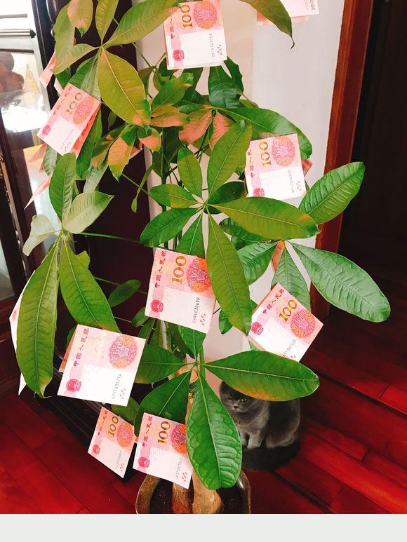 教你養發財樹,兩個月開金花,還能結玉果,幸福吉祥好兆頭
