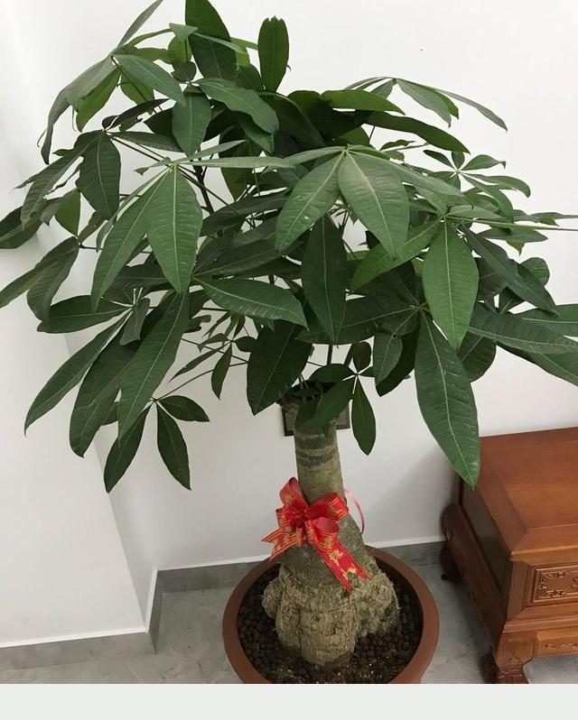 家庭養發財樹,記住關鍵「4步」,枝繁葉茂長勢旺,滿樹冒新芽