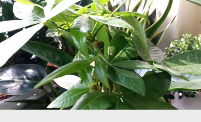 養發財樹,這「3點」做好,一年四季綠意盎然枝繁葉茂