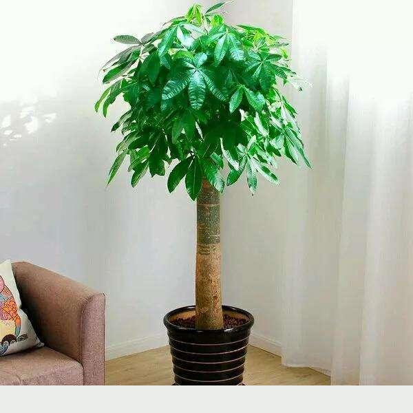 發財樹不會養,幾個小技巧養出枝繁葉茂,耐看寓意好