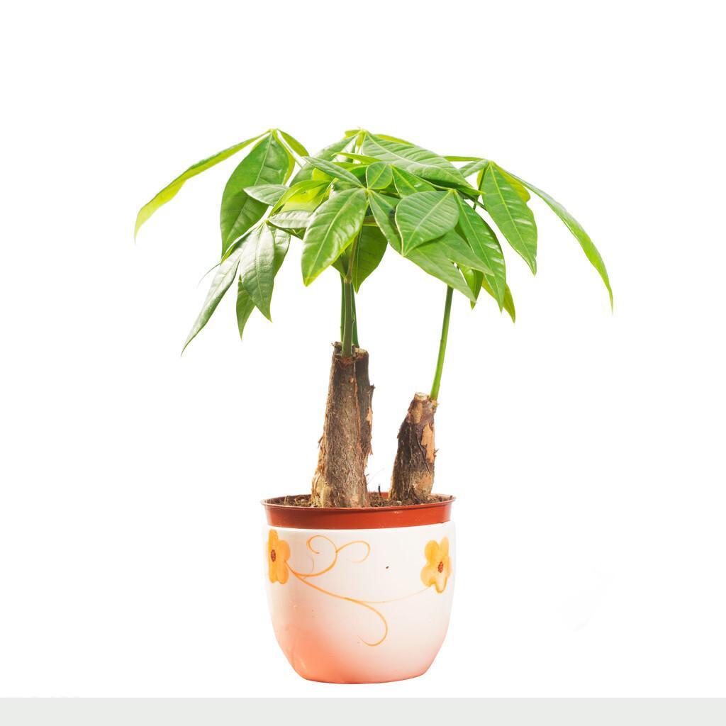 家裡養發財樹,方法很重要,教你幾個學不到的小技巧