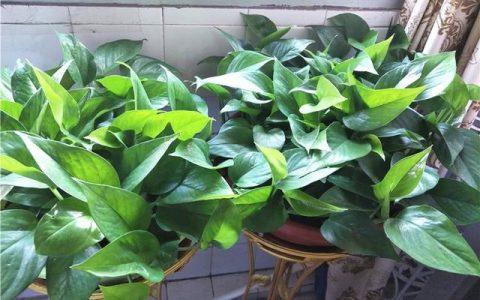養黃金葛,用4個「小步驟」,30天長爆盆,半年爬上牆,葉片油綠
