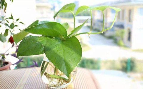 讓黃金葛常年油綠有「3招」,生長快長勢旺,一根枝條2米長