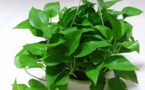 黃金葛養護很簡單,幾步做到位,葉不黃根不爛,輕輕鬆鬆擠爆盆
