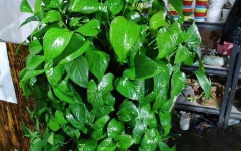 家庭常見又好養的黃金葛,只需3步,葉子肥厚油綠,想不爆盆都難