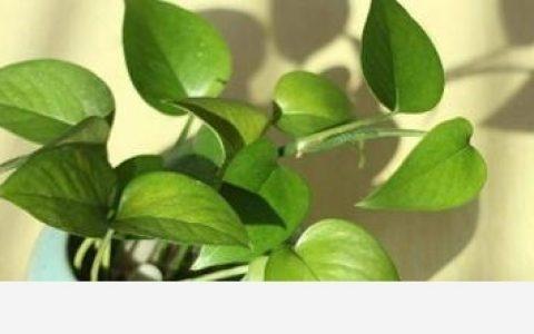 怎麼種植黃金葛,有哪幾種方法