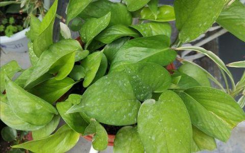 家中養黃金葛,別只顧澆水,做好2個關鍵點,長得枝繁葉茂