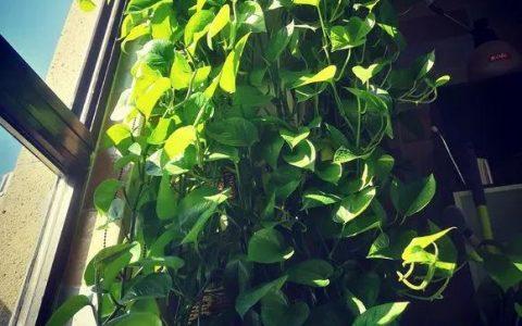 老花匠:黃金葛最愛4種東西,餵了以後長得快,抽芽多,易瘋長