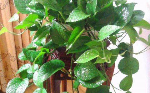 養黃金葛,一定要做到「3點」,才能四季常綠,不黃葉,爬滿牆