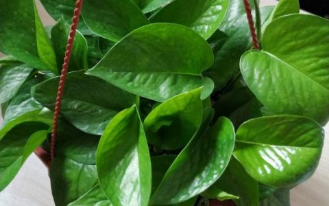 黃金葛是個「肥婆子」,1月喂「2次」,葉子油綠瘋長,比巴掌大