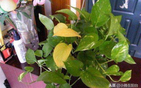 養黃金葛一個小妙招,一片黃葉沒有,蹭蹭長爬上牆,冬天也綠油油