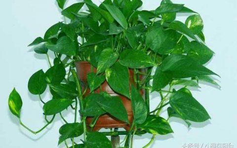 養黃金葛一個小方法,不黃葉不爛根,翠綠光亮,能爬幾米長