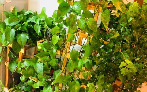 黃金葛瘋長季,葉子爬滿屋,家裡變成氧吧