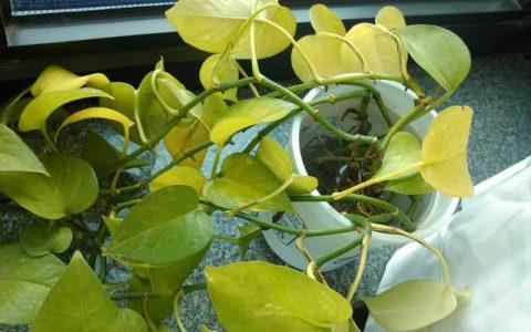 家裡的黃金葛不常綠,加點「水」,瞬間呼呼長綠葉