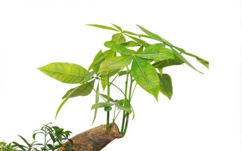她家發財樹一個月長高30厘米,打開「生長機關」很簡單,值得學習