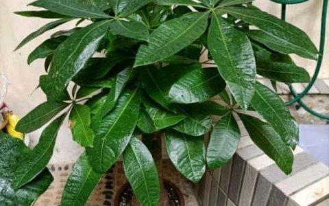 怎樣養好發財樹盆栽?注意3個小問題,年年翠綠鮮活,葉子多