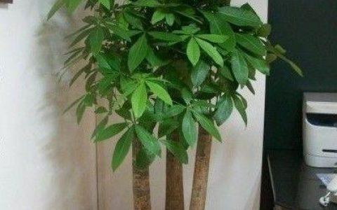 年底養花,一盆發財樹添財氣,來看5點養護細節