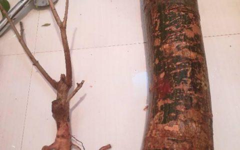 發財樹總是假死,一個木樁整年不發芽,看完就學會催芽術!
