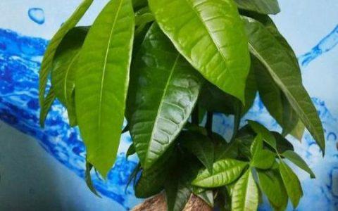 教你養出枝葉繁茂有朝氣的發財樹,只需做幾件「小事」,瘋長不停