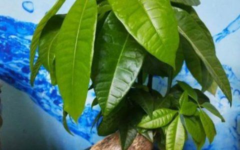 養發財樹,澆水有「訣竅」,2種「酸水」換著澆,葉片不黃長勢旺