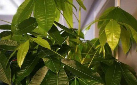 發財樹「不耐寒」,冬季注意一點,依然油綠茂盛,長成「小森林」