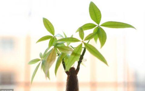 想養粗發財樹,就用這3個方法,一年能養成「大象腿」