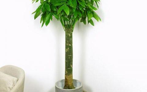 盆景觀葉植物發財樹養護實用指南
