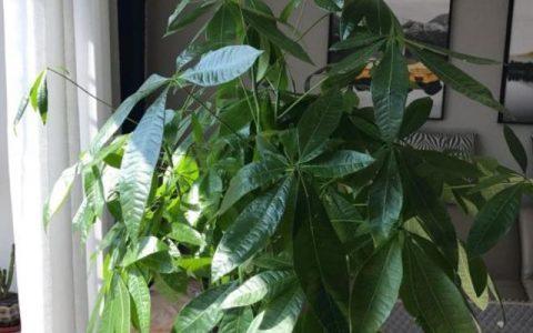發財樹公認的難養?試試做好這「4步」,絕對枝葉繁茂,四季常綠