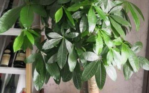 養發財樹,用點「小訣竅」,枝葉繁茂,四季油綠