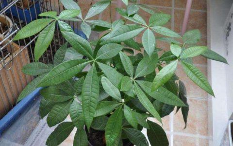 要養好發財樹,澆水、光照是關鍵,葉片綠油油不掉一片葉