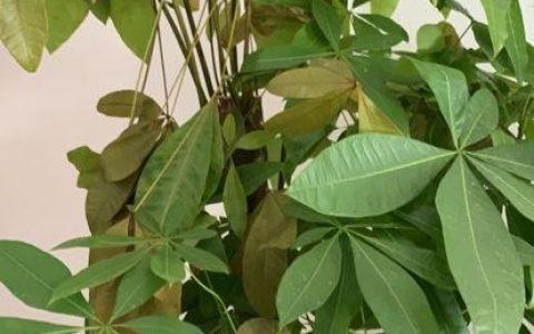 除了澆水,發財樹這幾點不注意,葉子照樣發黃