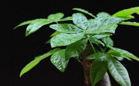 發財樹的養殖方法及注意事項