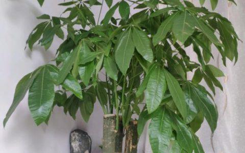 家庭盆栽發財樹,老是養不活?手把手教你養護技巧,保准根壯葉綠