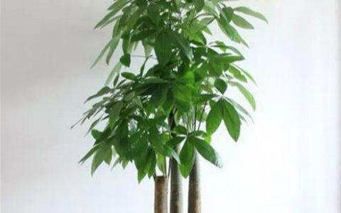 在家養發財樹,注意這幾點,葉子肥大不發黃,一點也不難養