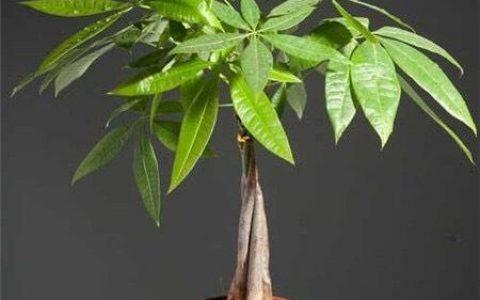 養發財樹,注意1個小細節,不爛根不黃葉,嫩葉蹭蹭長,枝繁葉茂