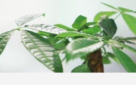 發財樹種植方法