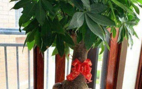 發財樹養得枝葉繁茂,平時要注重這幾個細節,才能長得旺盛