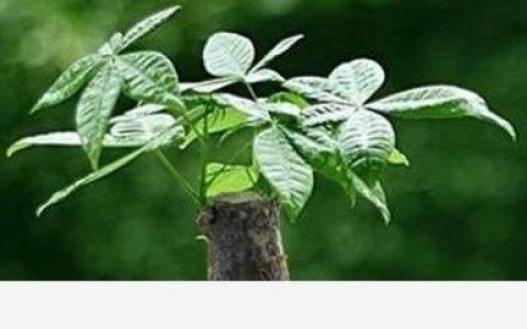 發財樹怎麼養殖