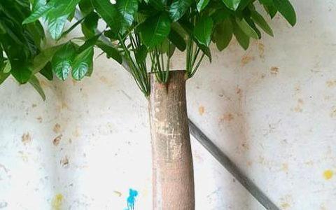 養發財樹,做好「第一步」,不爛根,不爛葉,一年四季綠油油