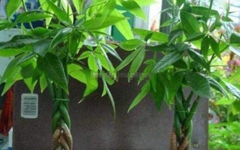 養好發財樹,有1個訣竅,葉綠有光澤,枝繁葉茂,年年旺財運!